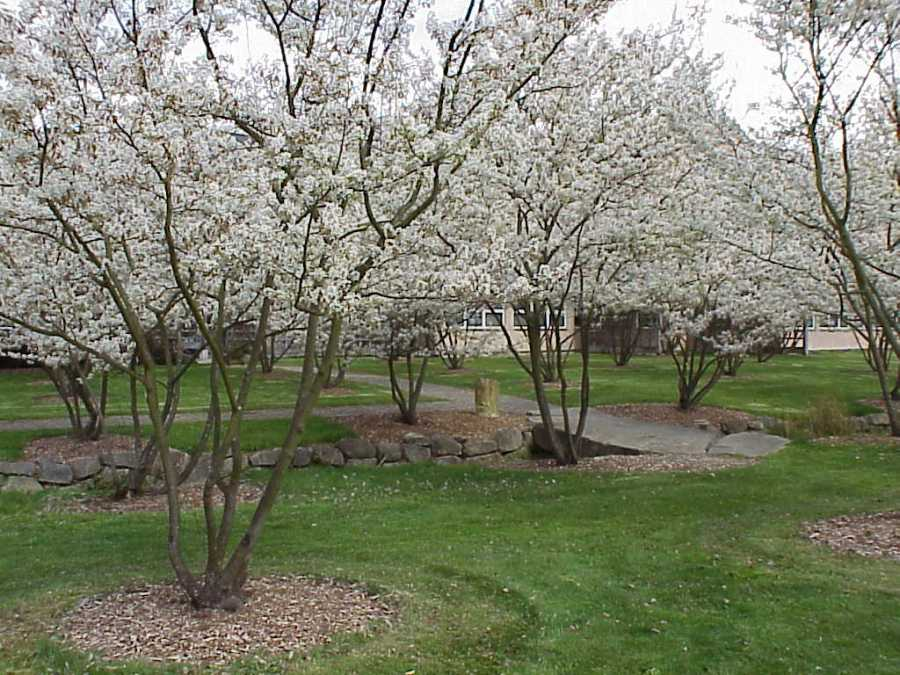Juneberry-trees